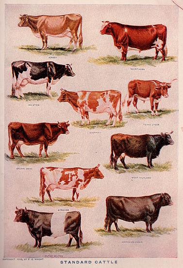 377px-Cattlebreeds